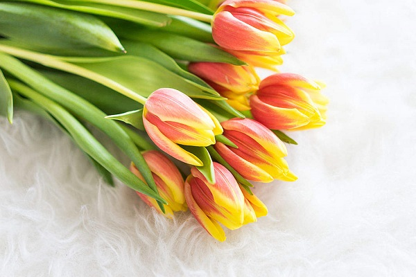 bouquet-of-kees-nelis-tulips-on-white-synthetic-pelt_free_stock_photos_picjumbo_DSC03013-1080x720.jpg